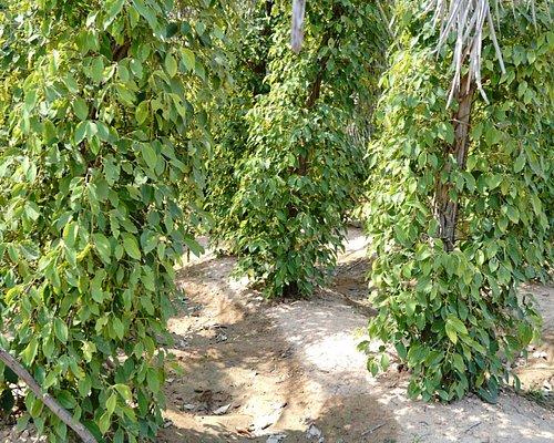 胡椒の木。何月に花が咲いて・・・みたいな説明をしてくれます。
