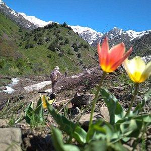 Uzbekistan. Hiking in Ugam-Chatkal National Park to Aksarsay waterfall. Tulips watching.