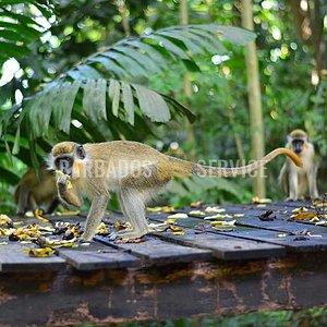 Monkey Feeding Time at Welchman Hall Gully