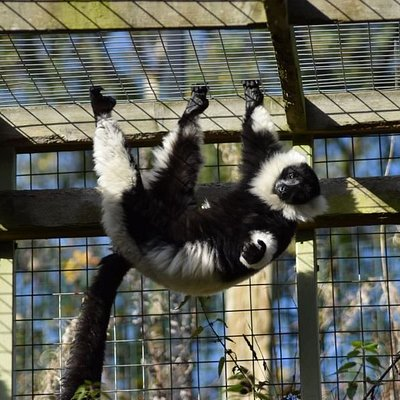One of our Black and White Ruffed Lemur