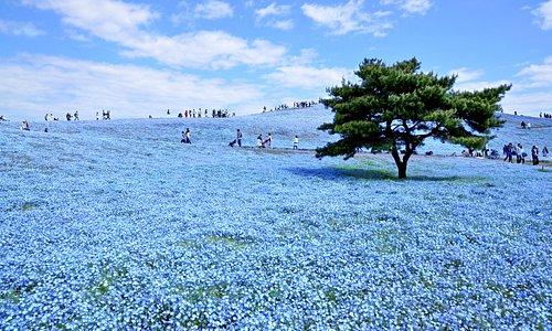 ネモフィラと空と海とが織り成す青のハーモニー。 みはらしの丘一面が青く染まり、空と海の青と溶け合う唯一無二の風景を創出します。  Nemophila, an annual herb, is native to north America and called Rurikarakusa in Japanese. Nemophila is 20 cm tall and each flower is 2 to 3 cm in diameter. Usually the small flowers are planted for a supporting role in a garden.  However, in this park the blue flowers cover the entire hill, creating a special view with the sky and the ocean.