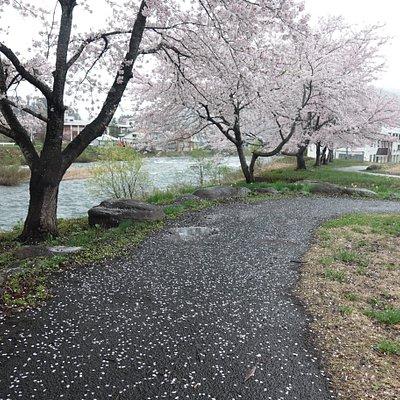 鳥海河川公園:桜並木
