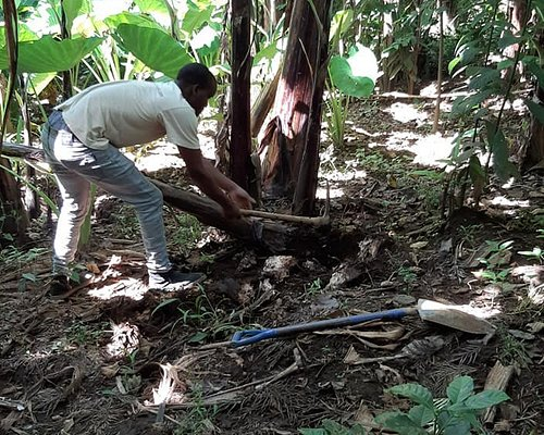 Cutting down a banana tree next to another tree to replant elsewhere.