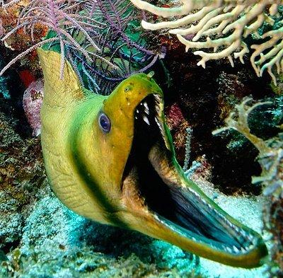 Green Moray at Lagun Blou Dive