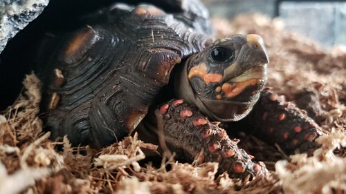 Baby Ducky, the red foot tortoise.