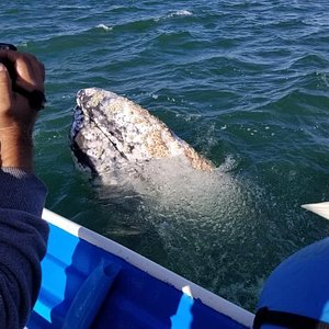 Up close and personal with a grey whale. He hung out for many minutes until most of us were able to touch him.