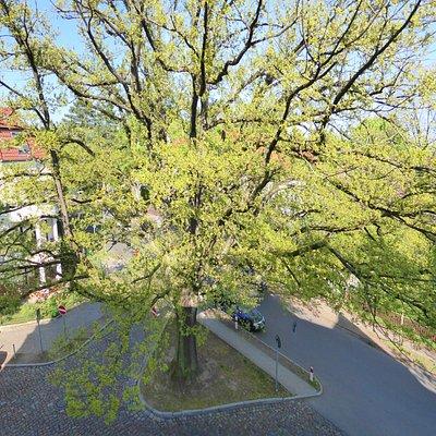 Bismarckeiche - Great Oak tree in Berlin Waidmannslust - North