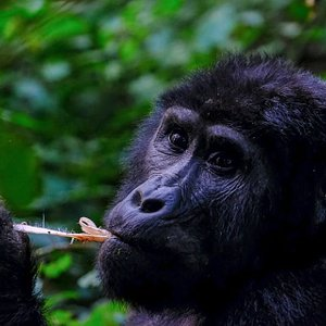 With over 8 years experience in organizing day trips to the mountain gorillas in Volcanoes National Park, a trek with us is a lifetime experience!   We are able to offer you unbeatable prices and unparalleled value on all our excursions.