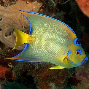 The Angel Fish - Diving in the Rosario Islands with Diving Planet. Angel Frances - Buceo en las Islas del Rosario con Diving Planet.