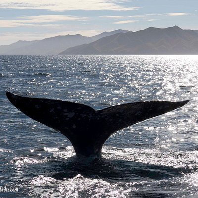 Enjoy the whales season in Baja California Sur. A mandatory appointment with the gentle giants of the seas