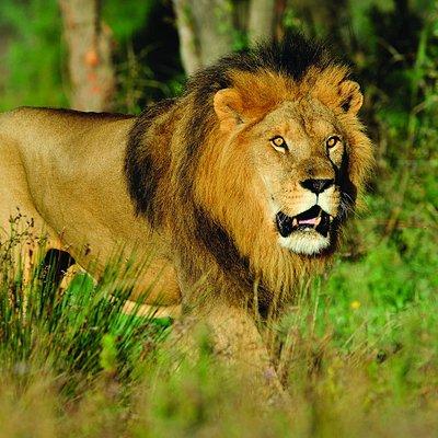 Lion à la Réserve Africaine de Sigean