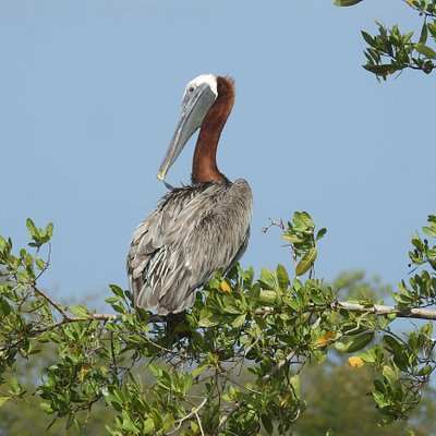 One of three Brown Pelicans in a tree.