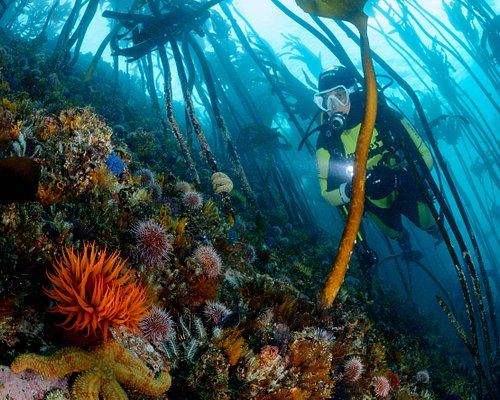 Our stunning kelp forest - well worth diving!