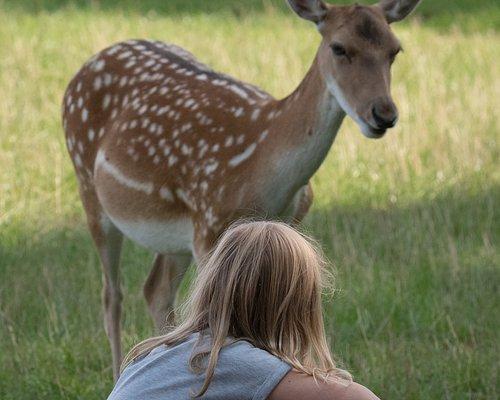 Walk with deers in Skånes Djurpark.