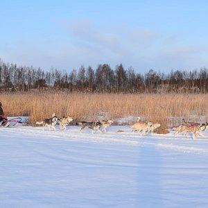 Sledtours with purebreed Siberian huskies in Swedish Lapland