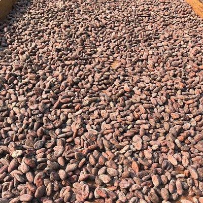 Tour de Cacao - finca Villa Amanda