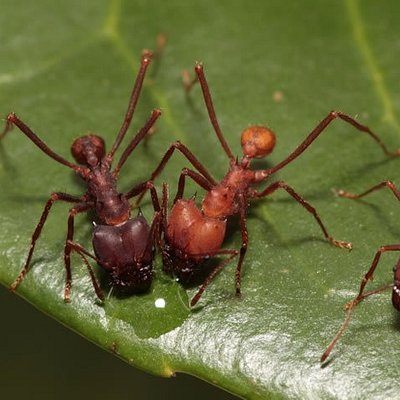 Leaf Cutter Ants Costa Rica