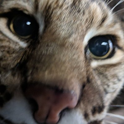 Meet CuriOdyssey's bobcats up-close!
