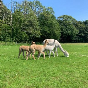 Some of our beautiful 2019 cria, which will soon be joining our trekking team!