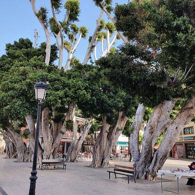 stare drzewa laurowe na placu