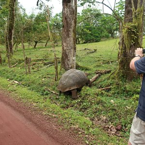 Our rescued Giant Tortoise now ensnared in barbed wire trying to return home - Rancho Manzanillo, Santa Cruz Island, Galapagos