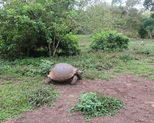 A Giant Tortoise en route to the Pond at Rancho Manzanillo, Santa Cruz Island, Galapagos