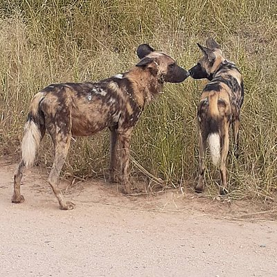 Wild dogs #lihlosisafaris #krugernationalpark #gamedrive #bestsafariguide #safari #big5 #bigcats #mpumalanga #safariinafrica #wilddogs