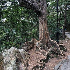 Peak Circle Walk - nice trees