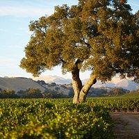 Estate Vineyard