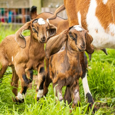 Kid goats frolicking in the paddock!