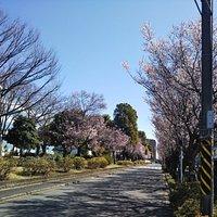 公園南側の桜が開花🌸🌸🌸