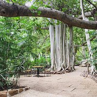 Outdoor seating under the beautiful Banyan Fig Trees.