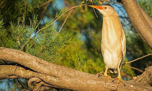Blongios nain aux Marais du Vigueirat. Le site abrite les 9 espèces de hérons d'Europe, qui viennent nicher sur le site.