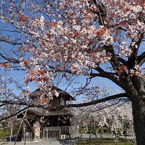 山桜が見頃です。2020/3/26撮影