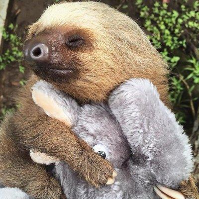 Costa Rica Baby Sloth