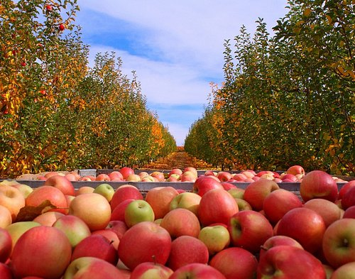 Pink Lady Apple Harvest at Boa Vista Orchards Situated in the Heart of the Beautiful Apple Hill Area of Placerville, California.