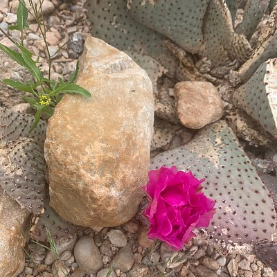 """When it's a will it's a way"" This cactus flower growing  Between the rocks Gorgeous flower"