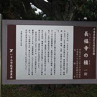 硯山長福寺:槙の木の説明