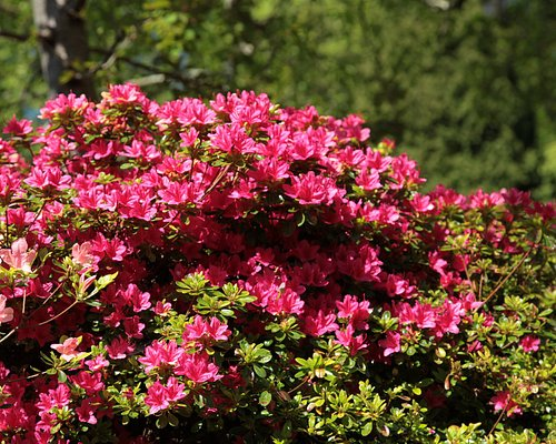 See spectacular displays of azeleas, camellias and rhododendrons in our beautiful country park.