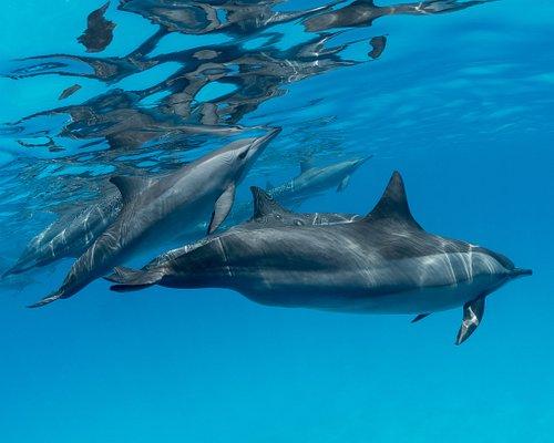 Nager avec les Dauphins long bec à Dolphins Reef