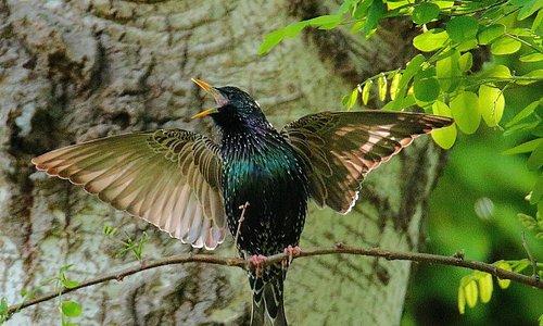 A nice specimen of European Starling, while he is about to his love call. 🐦📸 Un bel esemplare di Storno europeo, che si accinge al suo richiamo amoroso. 🐦📸