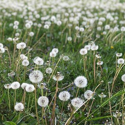 Púpava. Toľko zdravia v jednej rastlinke. Koreň, listy, kvet.  Púpavový med, sirup, tinktúra, ...a tieto biele hlavičky / padáčiky pre potešenie ...:-)