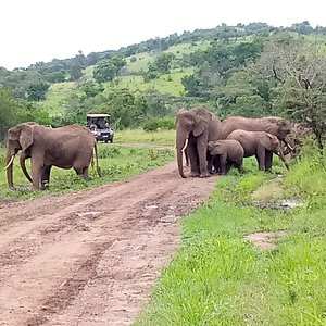 Elephants in Akagera National Park - Rwanda