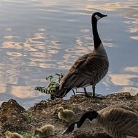 Canada geese with their newly hatched goslings by the lake
