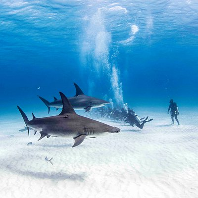 Great Hammerhead Safari at Neal Watson's Bimini Scuba Center