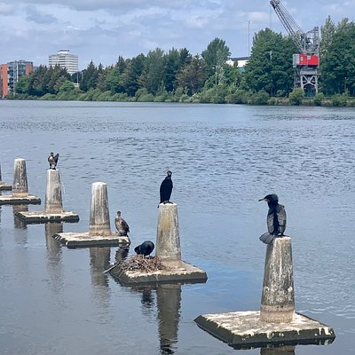 Coots and Cormorants at Bute East Dock