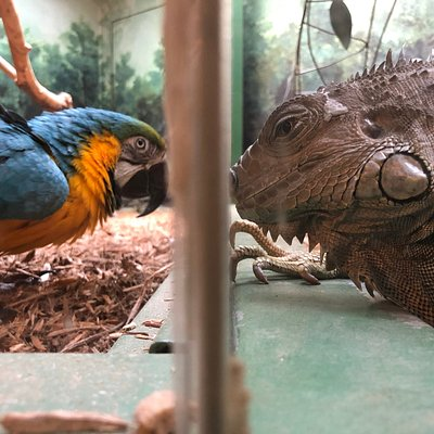 The Blue and Gold Macaw and the Iguana at Kaleideum North in Winston-Salem, NC.