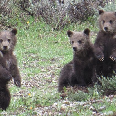 Grizzly Bear #399's 4 new cubs in 2020