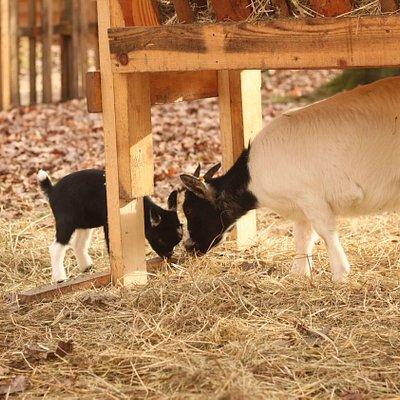 Maman chèvre et sa fille