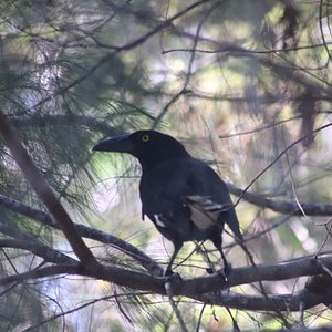 Pied Currawong can be seen in the park.